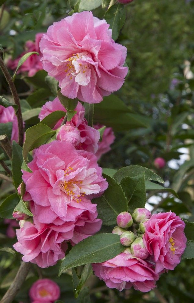 Camellia Fragrant Joy Camellia Lutchuensis Hybrid Gorgeous 2 Formal Rose Pink Blooms With A Delightful Fragrance The S Showy Flowers Fragrant Plant Flowers