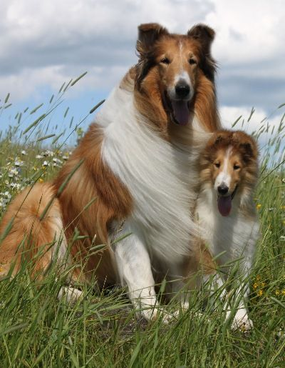 northern classic collies sheepdogs pinterest hunde s e hunde und hunderassen. Black Bedroom Furniture Sets. Home Design Ideas