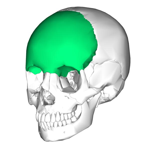Frontal bone | bones AP | Pinterest