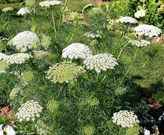 Cumino dei prati Carum carvi  proprietà e  coltivazione