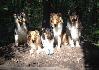 Collies Vom Alaunwerkshof Familienausflug Im Wald Collie Tiere