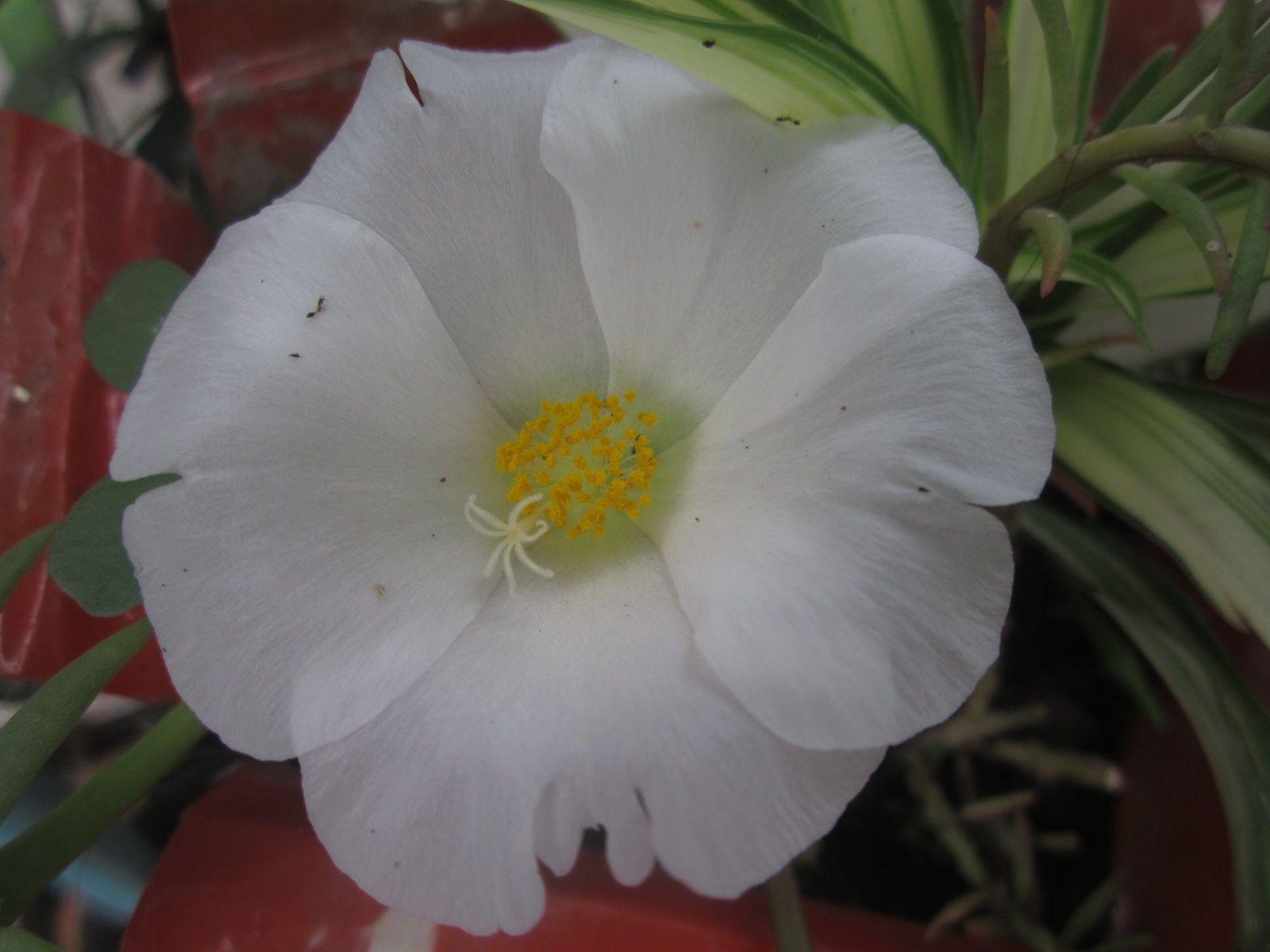 Flor de las once