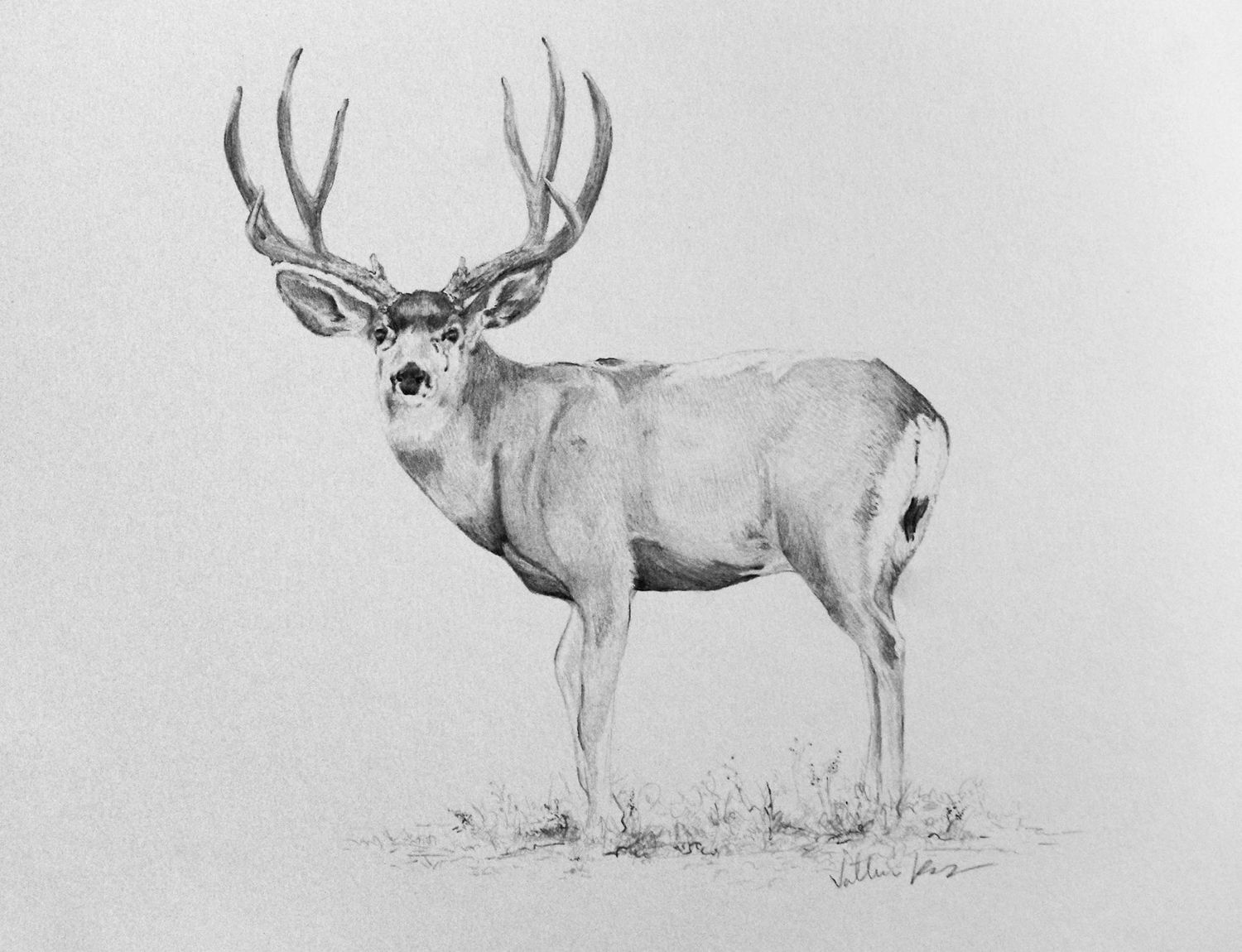 9x12 Inches Pencil Drawing of a Mule Deer Buck