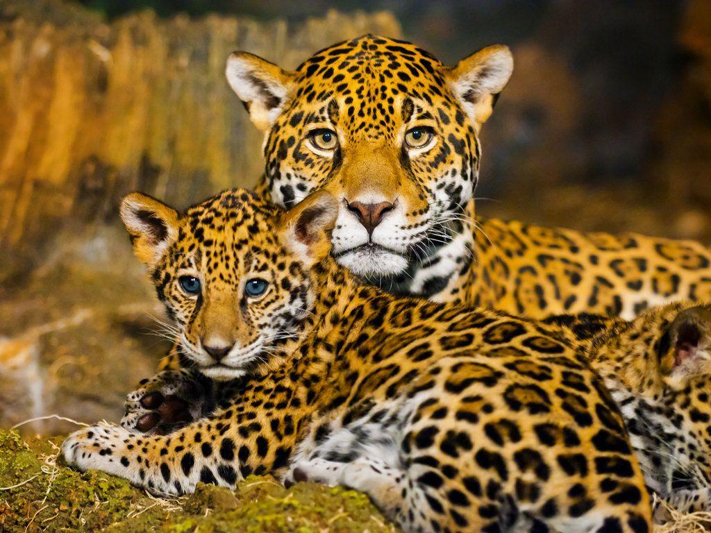 Print Of Jaguar Family Unframed Multiple Sizes Free Etsy In 2020 Baby Jaguar Jaguar Animal Baby Animal Art