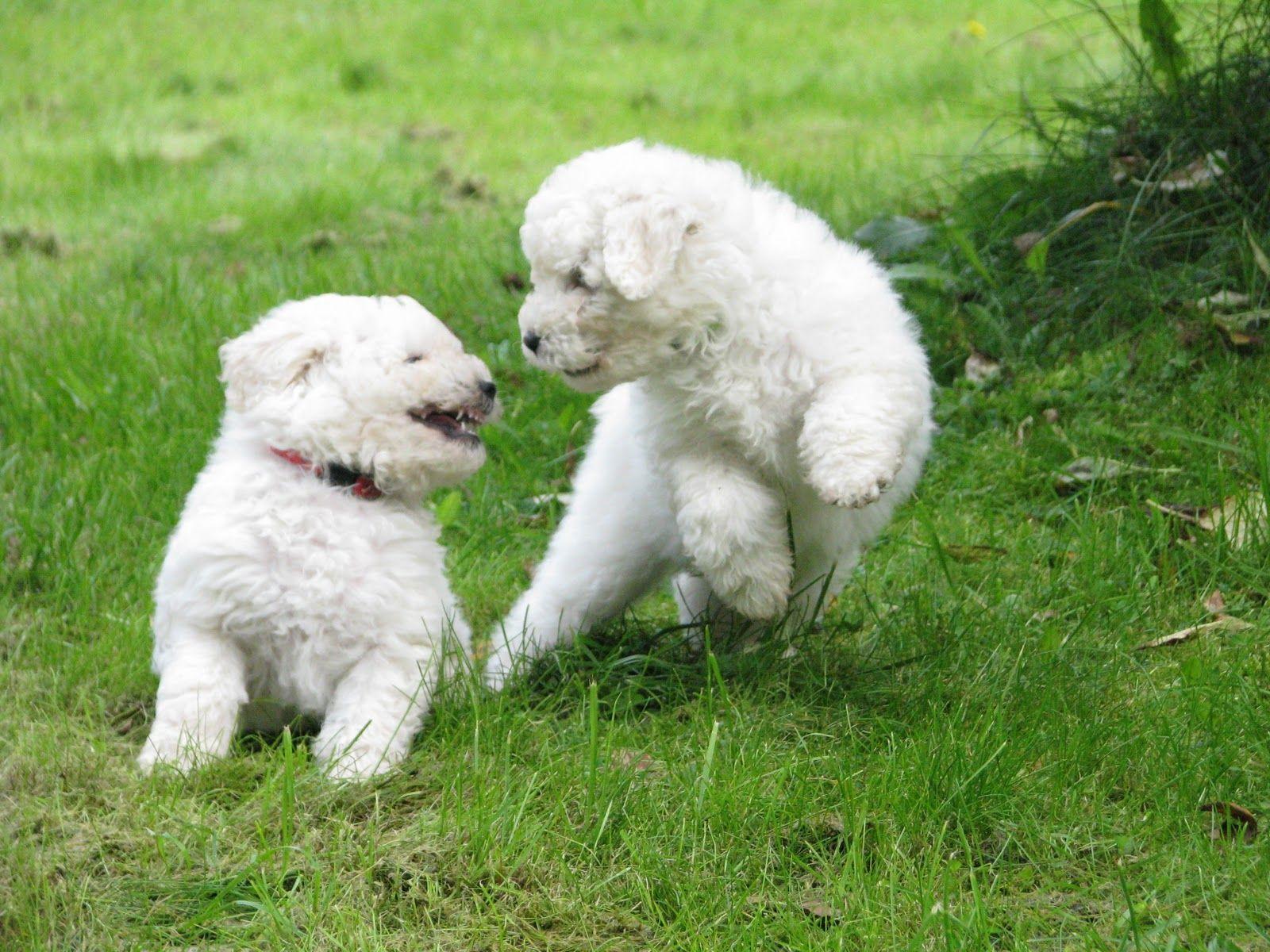 Puli Puppies Pulin Pentuja Kennel Narukera Pumi Dog Your Dog