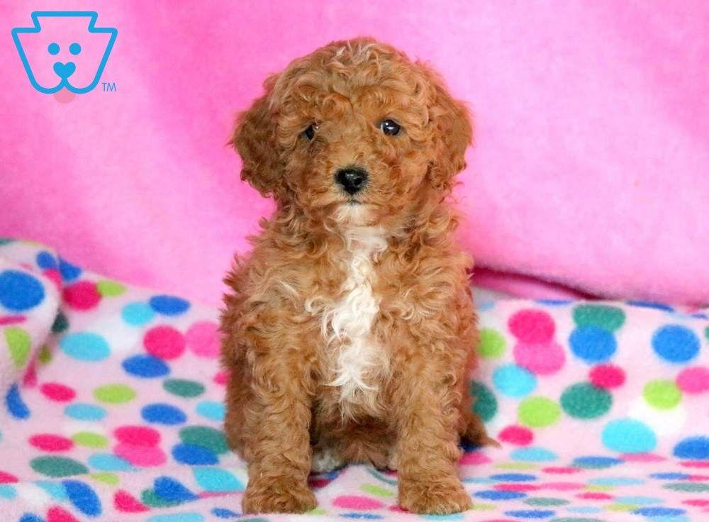 Winnie Cavapoo Puppies Puppy Adoption Puppies