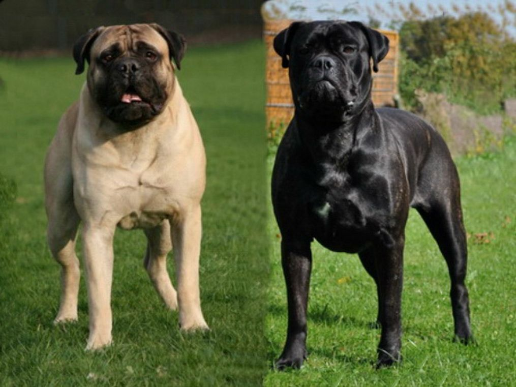 A Brindle A Fawn Bullmastiff Dogs Animals Pets Puppies