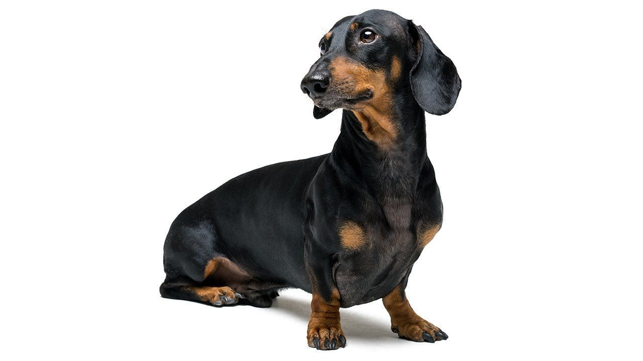 Doxie Din Not Just A Funny Dachshund Dog Video Funny Animal Videos Youtube Dachshund Funny Dachshund Dachshund Pictures