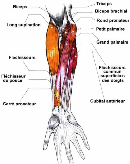 Lingua Francese | Anatomie | Pinterest | Anatomy and Muscles