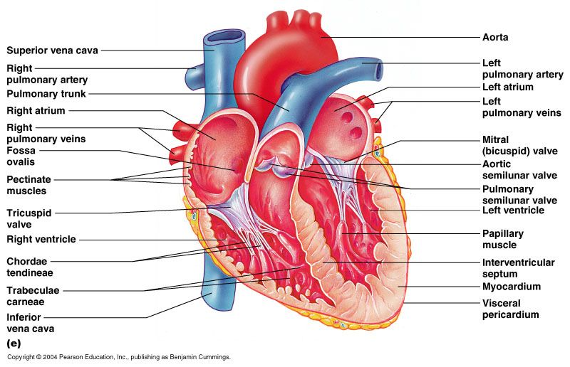 Anatomy of the heart... Must know this... | Should Be Studying, But ...