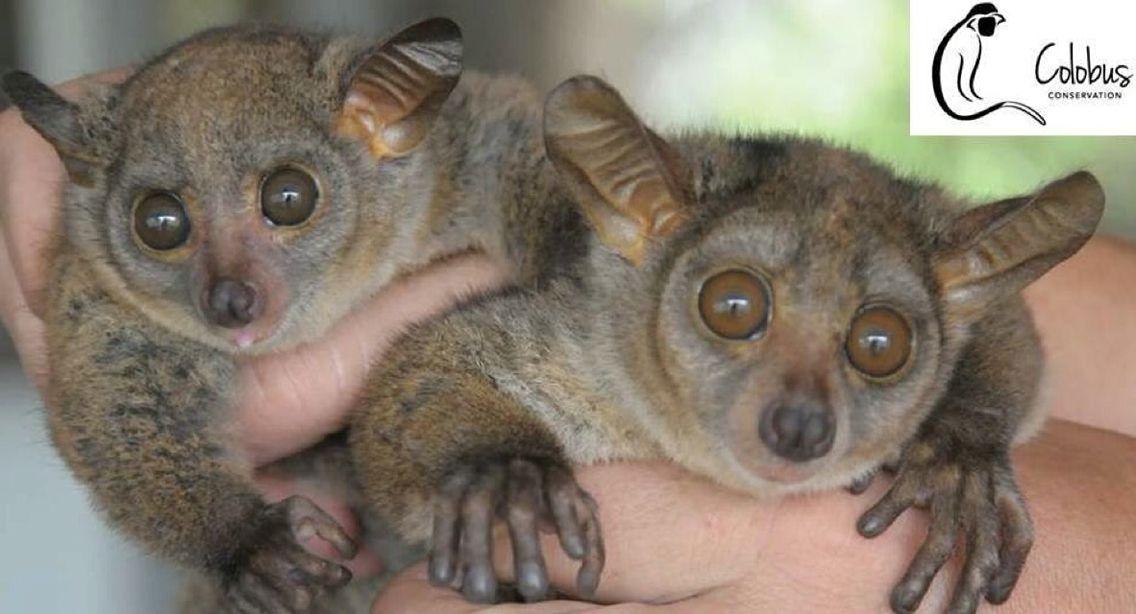 Cute bush babies | Koala bear, Koala, Animals