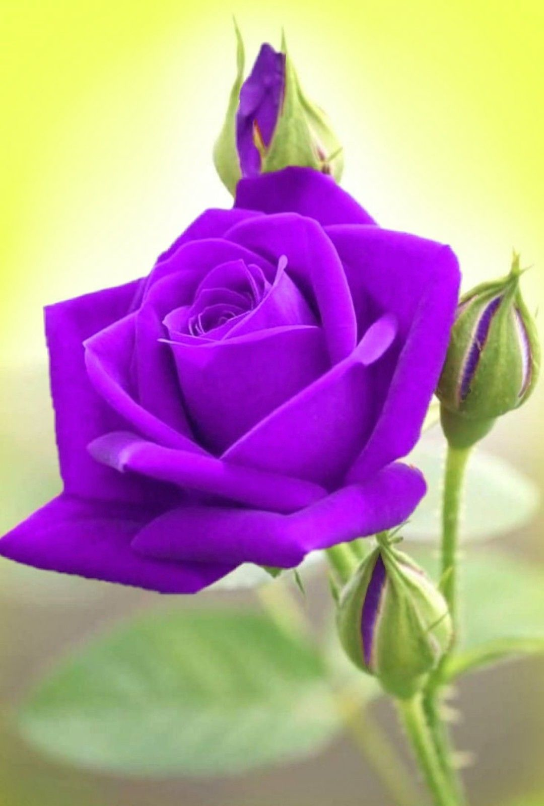 Pin By Silvija Petrovic On Flowers In 2020 Rose Flower Pictures Beautiful Roses Purple Flowers