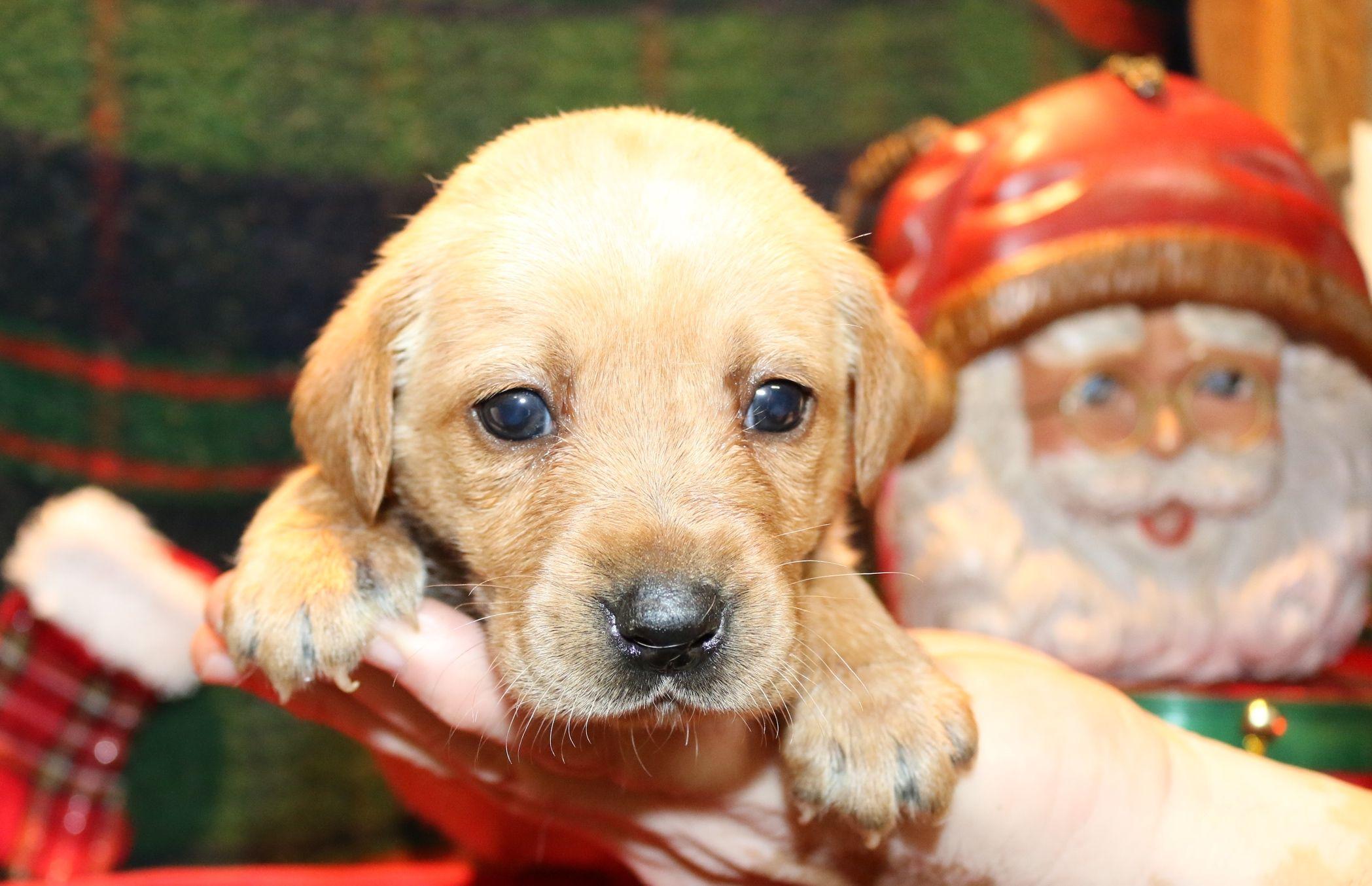 Christmas Puppies Who Needs A Yellow Labrador Retriever Labrador Puppies For Sale Puppies For Sale Yellow Labrador Retriever