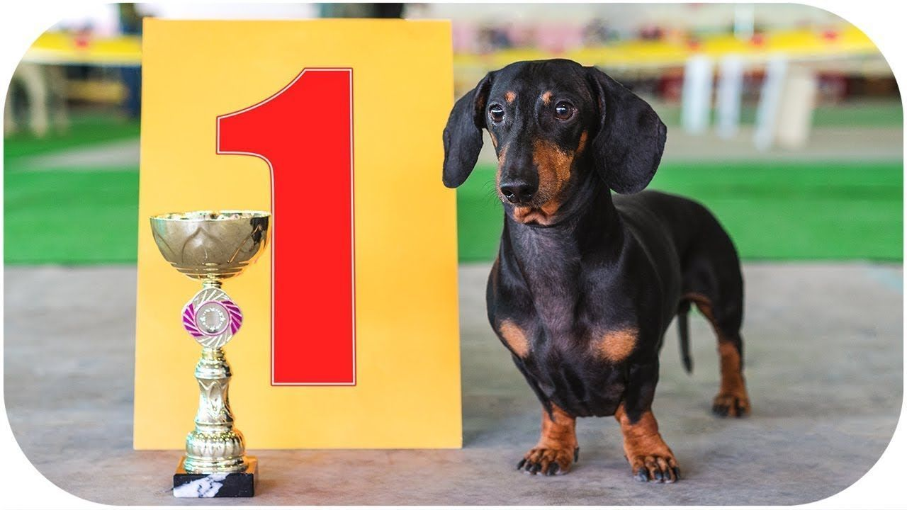 Always Best In Show Funny Dachshund Dog Video Youtube