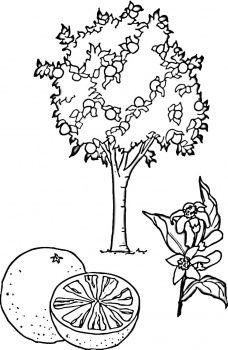 Orange Tree And Orange Coloring Page Tree Coloring Page Fruit