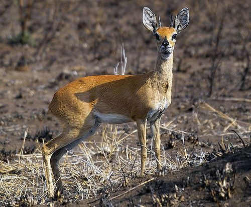 Steenbok | IMG02531