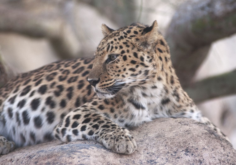 Amur Leopard at The Living Desert Amur leopard, Animals