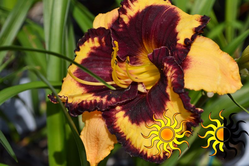 """Moussaka Daylily: Plant in full to part sun, reaches a height of 22"""""""