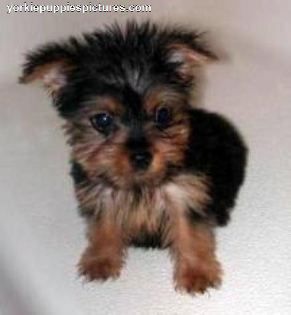 Puppies For Sale Cheap Yorkie Puppies For Sale Puppies Cute