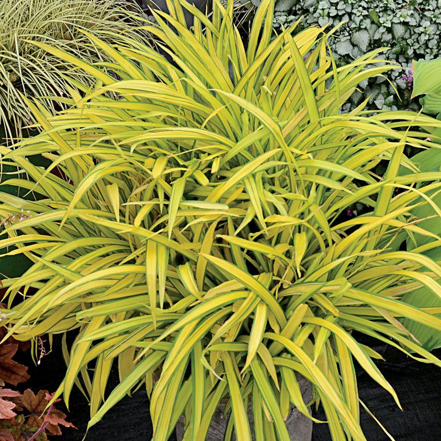 Carex banana boat this broad leafed sedge will jazz up for Ornamental grass with yellow flowers