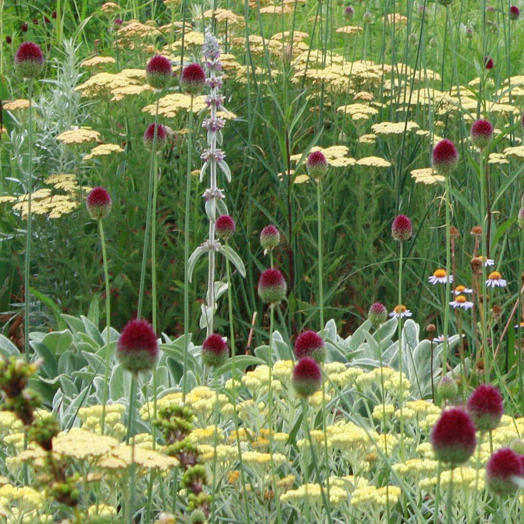 Jelle Grintjes On Instagram Pale Yellow And Red Purple Helichrysum Schwefellicht Ach In 2020 Public Garden Design Low Maintenance Garden Design Stachys Byzantina