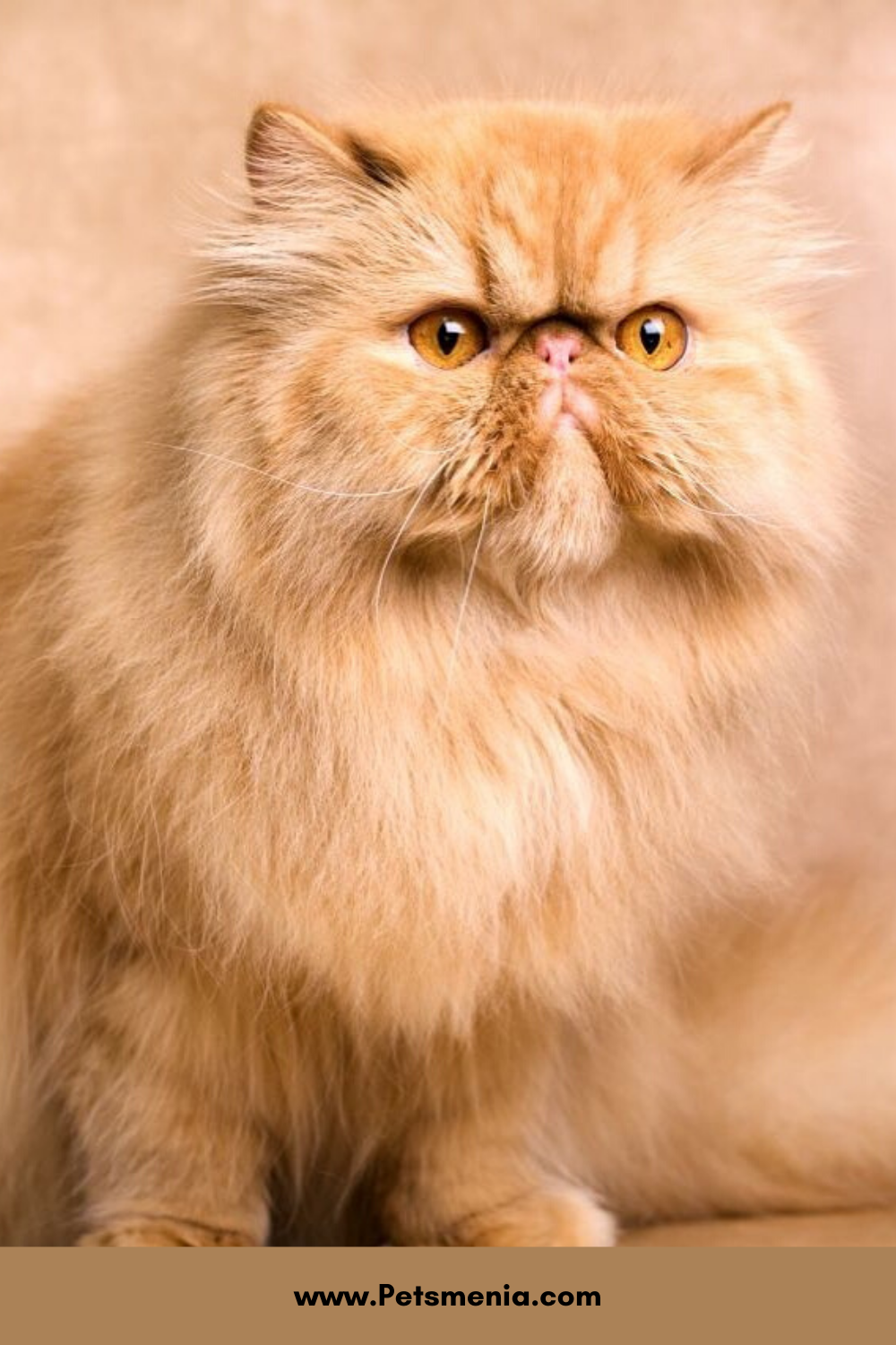 Pin On Persian Cat Adorable Cat Breed