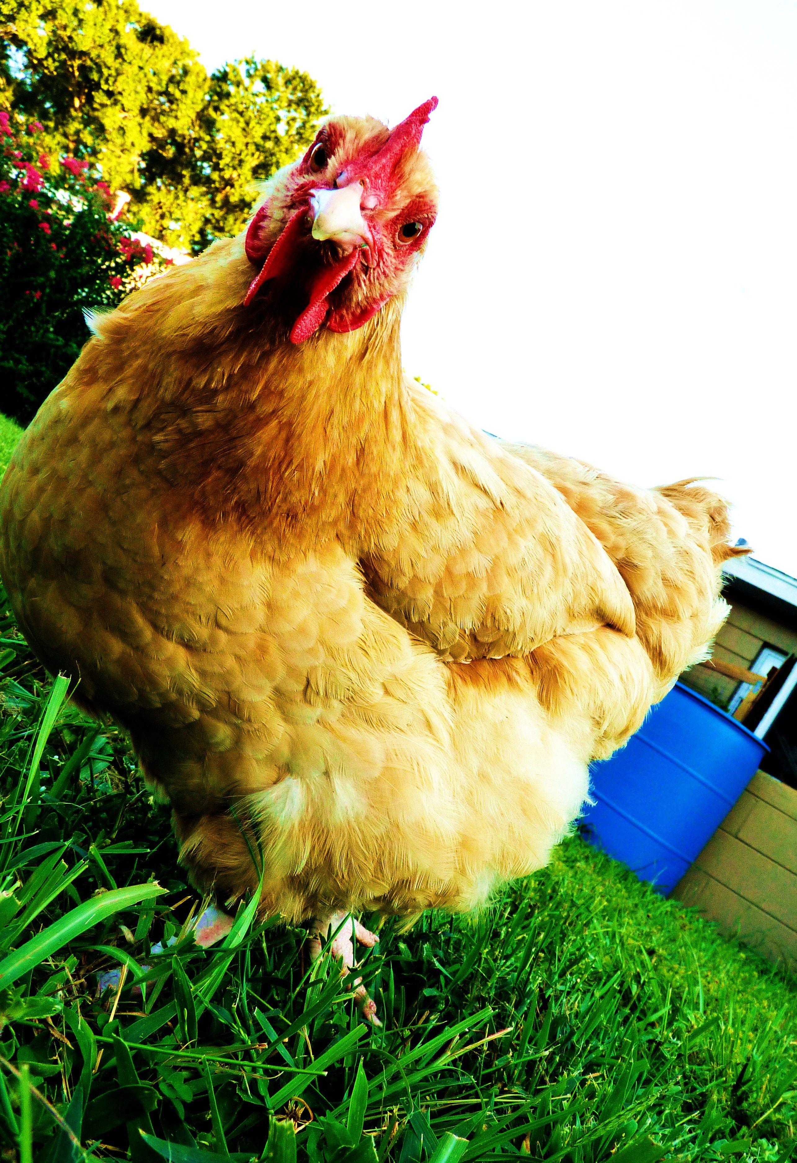 my fern :) buff orpington | Chickens backyard, Beautiful ...