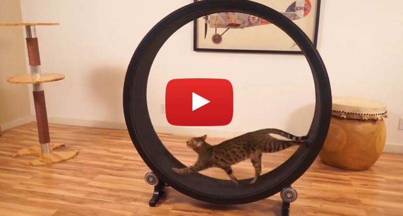 This Awesome Hamster Wheel For Your Cat Is The Invention Of The Year