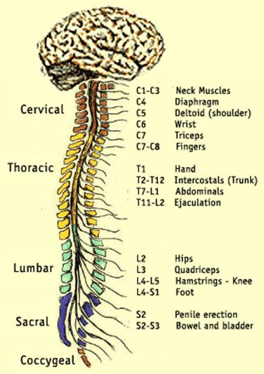 Spinal Cord Images