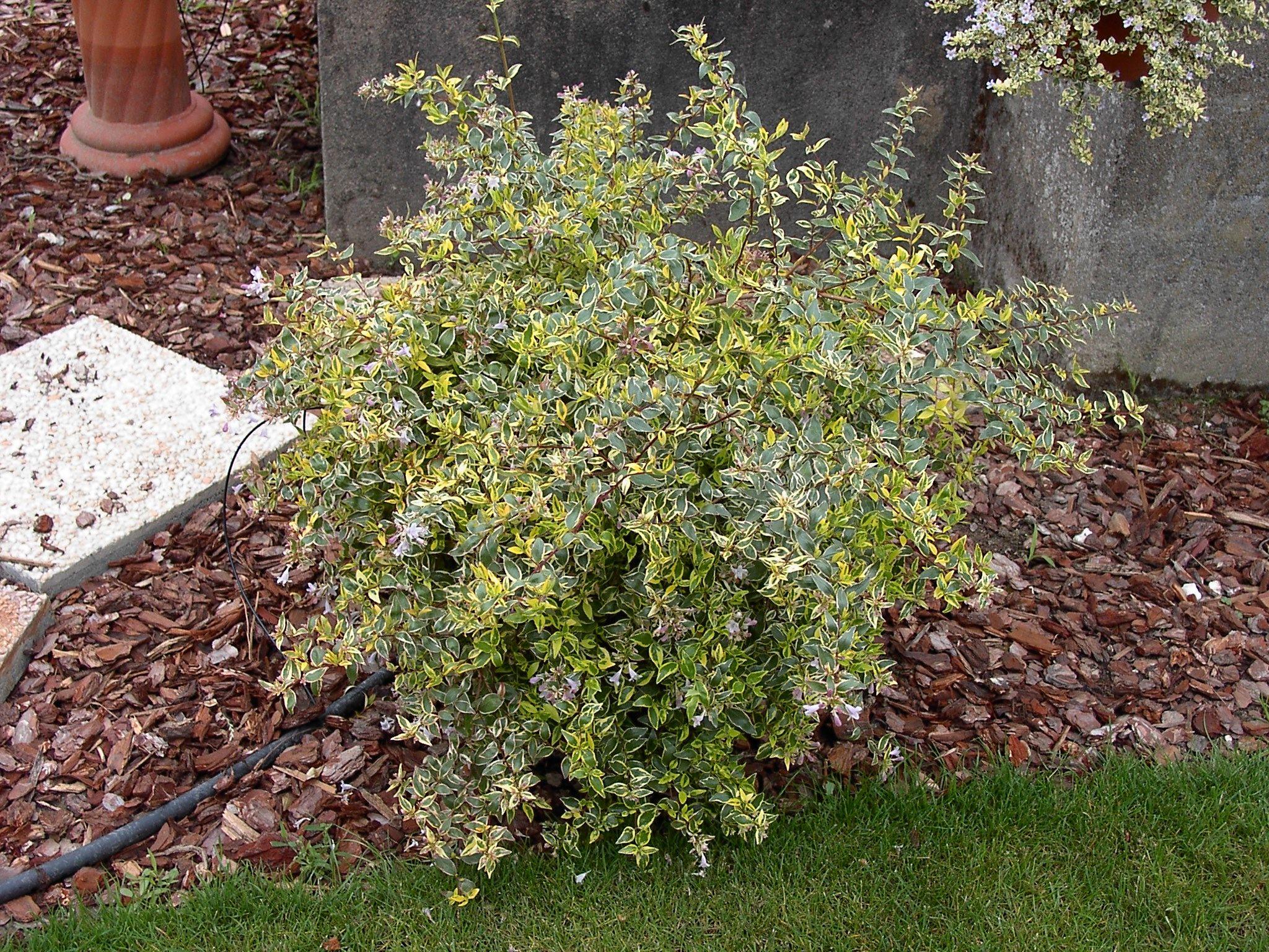 abelia grandiflora 'hopleys' cov ↕ 1.50m, ↔ 2m, jeunes pousses
