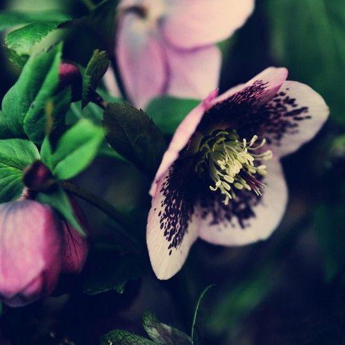 Hellebore (Lenten Rose). Gorgeous.