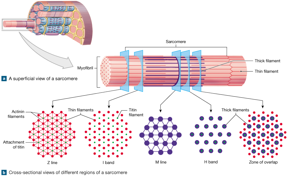 10 3 Skeletal Muscle Fibers Are Organized Into Repeating Functional Units That Contain Sliding Filaments