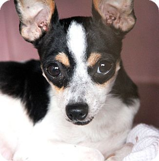Adopt A Pet Adelaide Stafford Tx Rat Terrier Chihuahua Mix