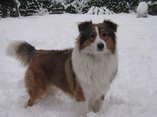 Paul Australian Shepherd Collie Mischling Mix Collie Mischling Hunde Mischlinge Aussie Hund