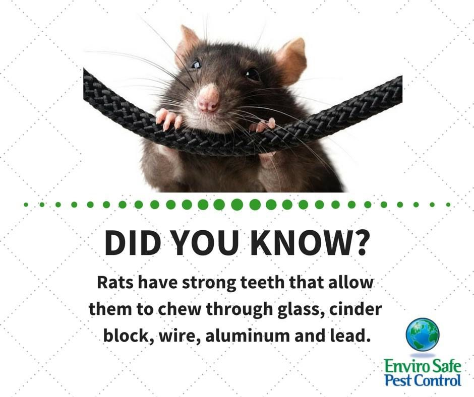 Rodent Teeth Grow Constantly And They Need To Chew To Keep Their Incisors From Growing To Unmanageable Lengths Rats C Rodents Humming Bird Feeders Pest Facts