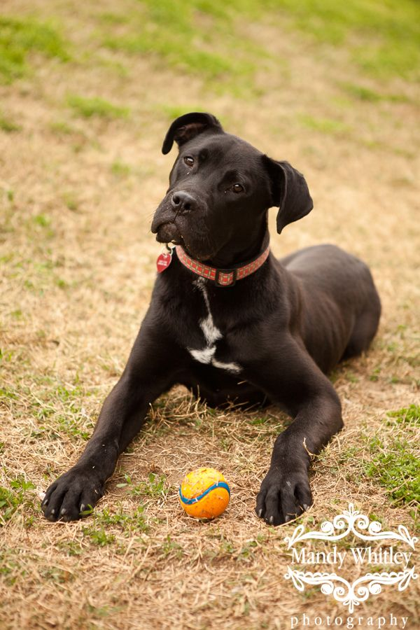 Pitbull Great Dane Mix Boxer Mastiff