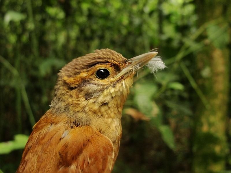 Scaly-throated Foliage-gleaner (Anabacerthia variegaticeps) in hand