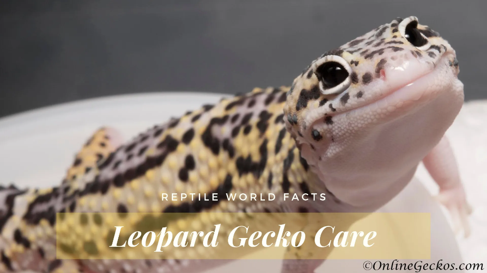 Taking Care Of Your New Pet Leopard Gecko Properly Will Ensure Your Friend Will Stick Around A Long Time Check Out What Leopard Gecko Leopard Gecko Care Gecko