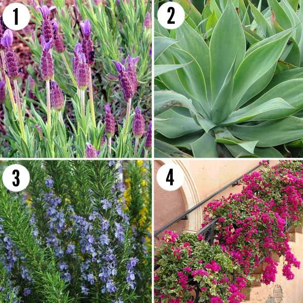 Drought tolerant plants for tuscan landscapes drought for Drought tolerant trees