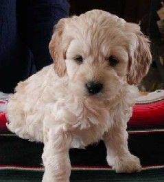 Cockapoo The Cutest Dog Cross Between A Cocker Spaniel And A Poodle Doesn T Shed Hair And Has Minimal Doggy Cocker Spaniel Poodle Mix Puppies Cute Animals