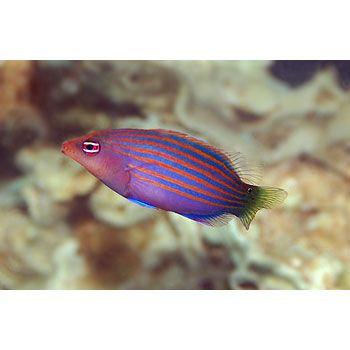 Six Line Wrasse For Sale Order Online Petco Marine Aquarium Fish Saltwater Fish Tanks Fish