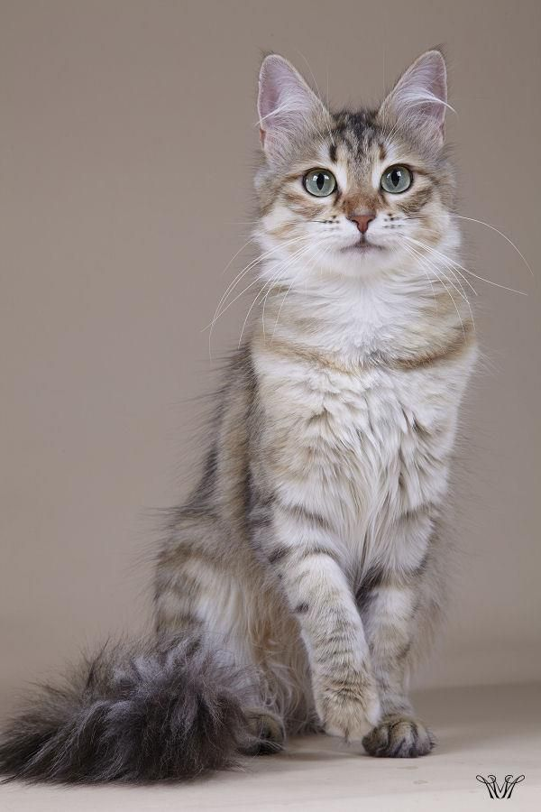 4478a78f8cd92e Turkish angora cat named Kung Fu Tiger Girl