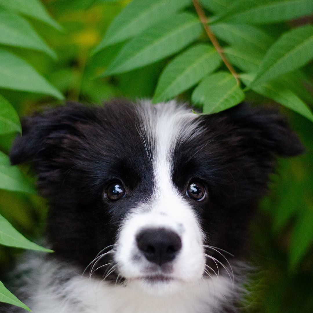 Pin By Field Stone Border Collies On Border Collies In 2020 Border Collie Puppies Collie Puppies Dogs