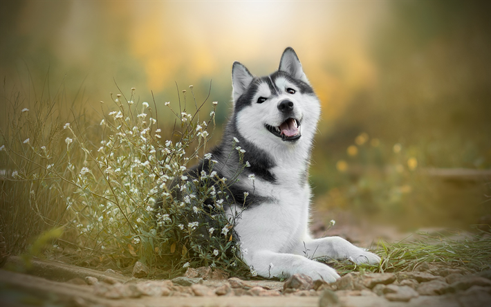 Download wallpapers Siberian husky, cute gray white dog