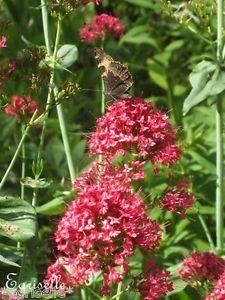 ♫ VALERIANE Rouge 'Coccineus' - Centranthus ♫ Graines ♫ Ornementale Mellifère ♫