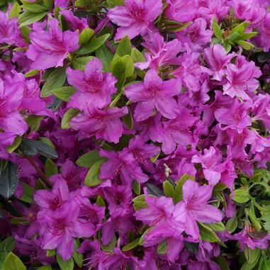 Rhododendron Karen Karen Azalea Clusters Of Lavender Pink Flowers On A Hardy Evergreen Shrub Heigh Hummingbird Plants Part Shade Flowers Shade Flowers
