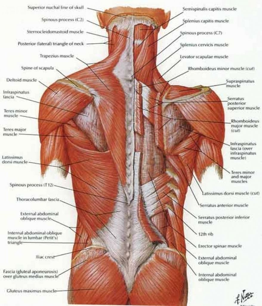 image result for back muscles diagram [ 878 x 1024 Pixel ]