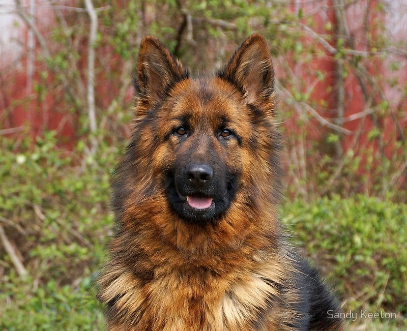 Photograph Of A Female German Shepherd Dog. U2022 Buy This Artwork On Apparel,  Phone