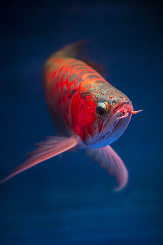 Arowana Fish Ikan Akuarium Ikan Tropis Ikan Air Tawar
