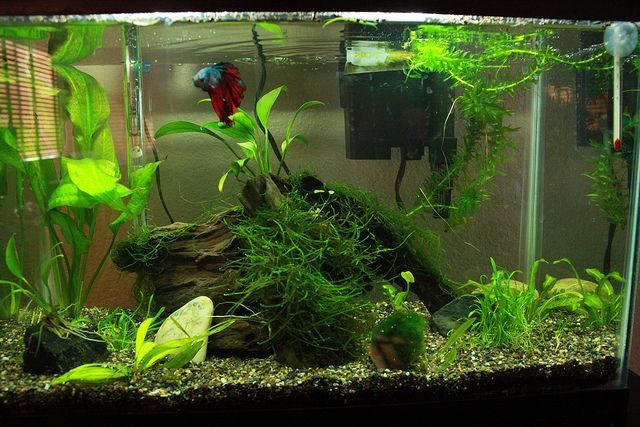 Aquarium with betta aquariums pinterest betta for Floating plants for betta fish